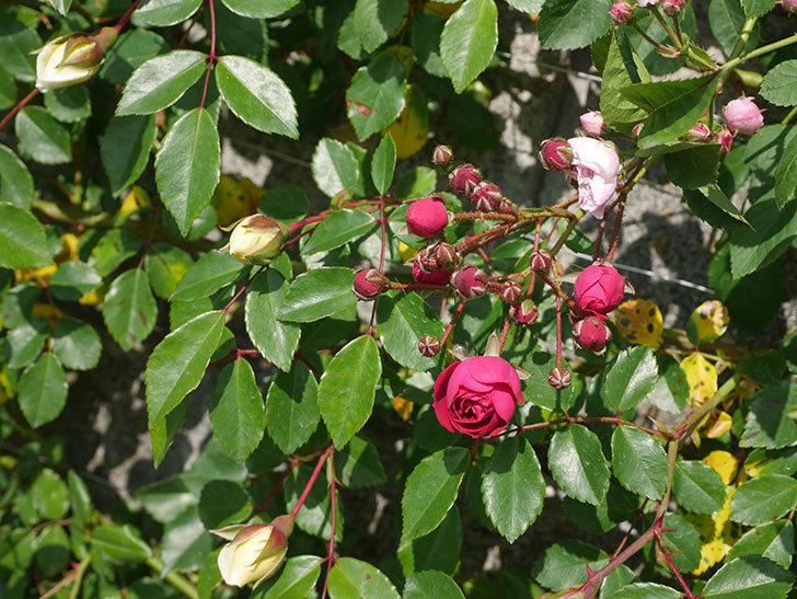 キングローズ(ツルバラ)の花が咲いた。2020年-1.jpg