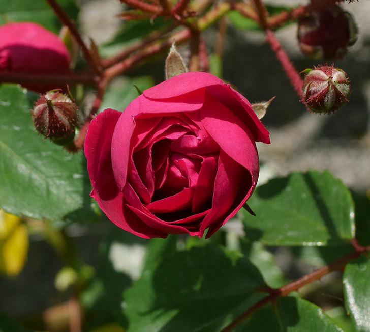 キングローズ(ツルバラ)の花が咲いた。2020年-5.jpg