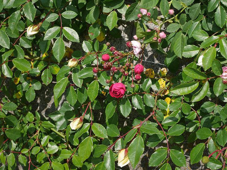 キングローズ(ツルバラ)の花が咲いた。2020年-6.jpg