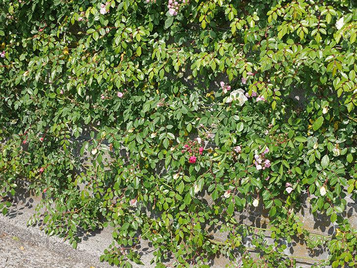 キングローズ(ツルバラ)の花が咲いた。2020年-7.jpg
