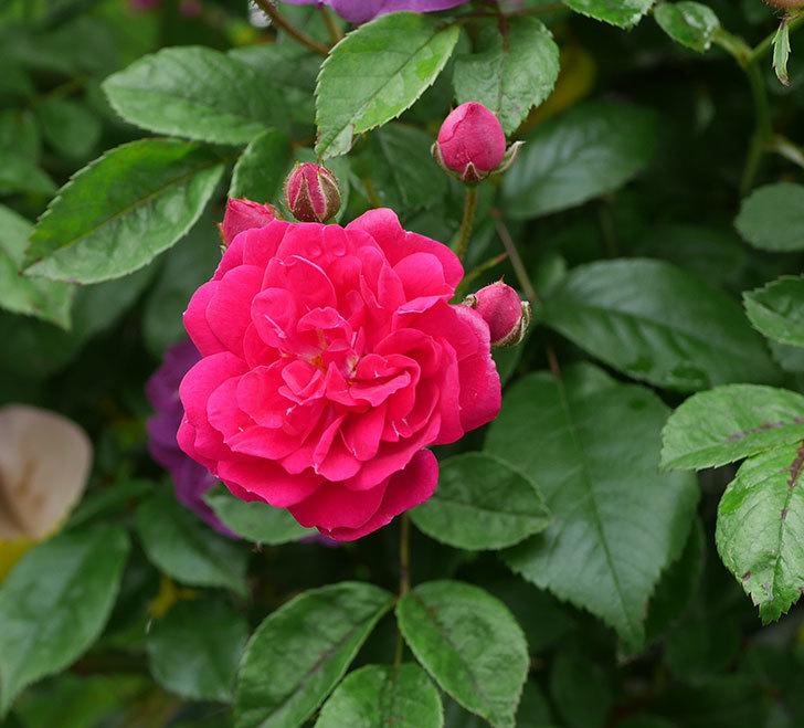 キングローズ(ツルバラ)の花が咲きだした。2019年-1.jpg