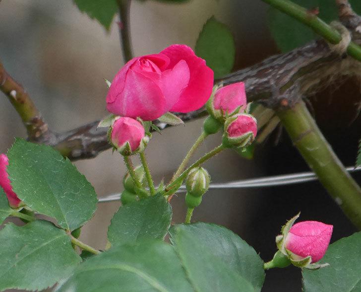 キングローズ(ツルバラ)の花が咲きだした。2019年-10.jpg