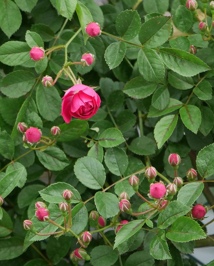 キングローズ(ツルバラ)の花が咲きだした。2019年-11.jpg