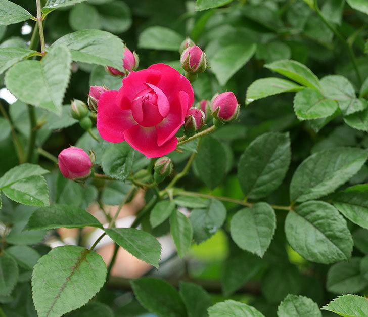 キングローズ(ツルバラ)の花が咲きだした。2019年-2.jpg