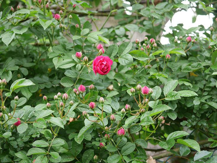 キングローズ(ツルバラ)の花が咲きだした。2019年-3.jpg