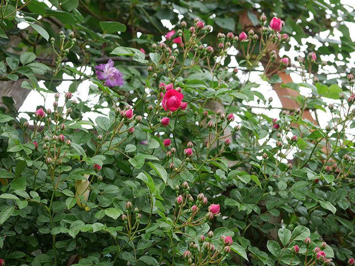 キングローズ(ツルバラ)の花が咲きだした。2019年-4.jpg