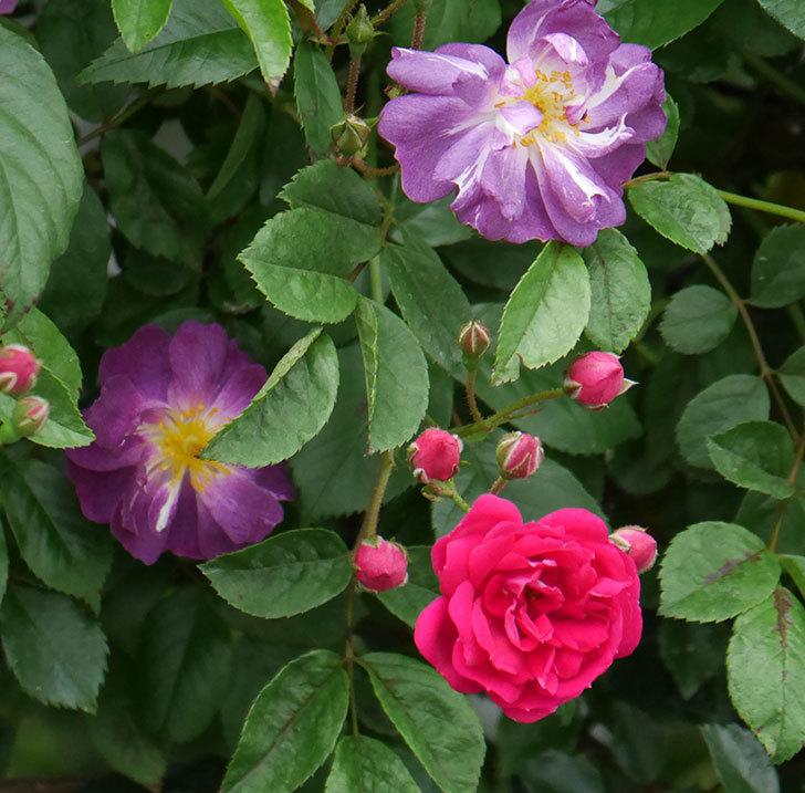 キングローズ(ツルバラ)の花が咲きだした。2019年-6.jpg