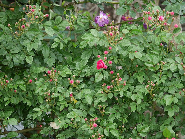 キングローズ(ツルバラ)の花が咲きだした。2019年-8.jpg