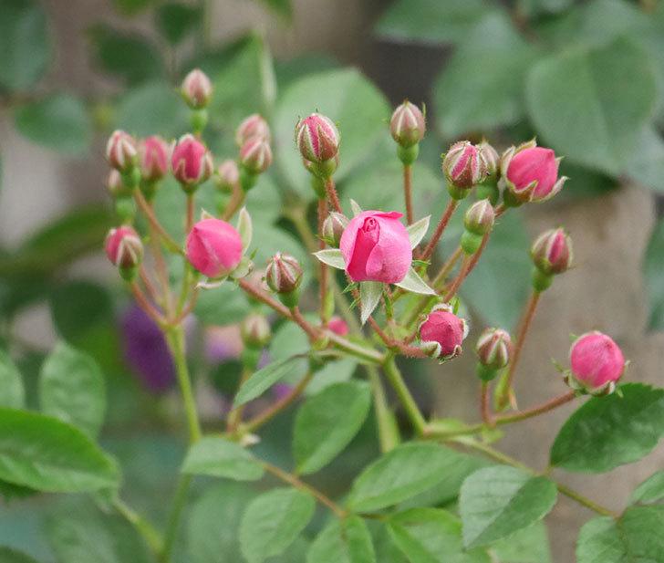 キングローズ(ツルバラ)の花が咲きだした。2019年-9.jpg