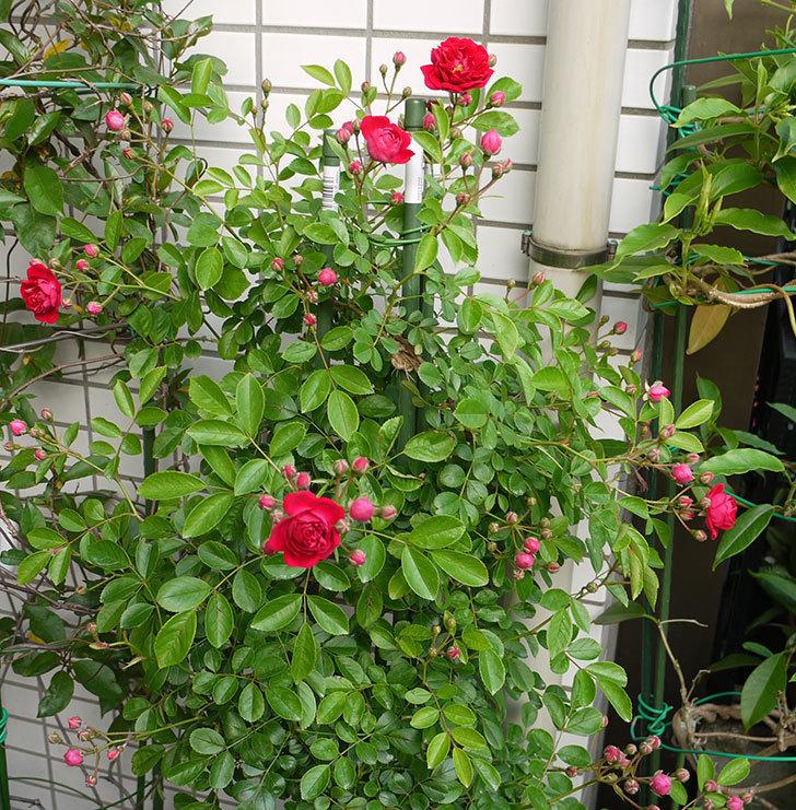 キングローズ(ツルバラ)の花が咲き出した。2016年-2.jpg