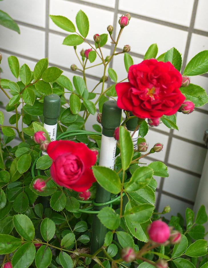 キングローズ(ツルバラ)の花が咲き出した。2016年-4.jpg