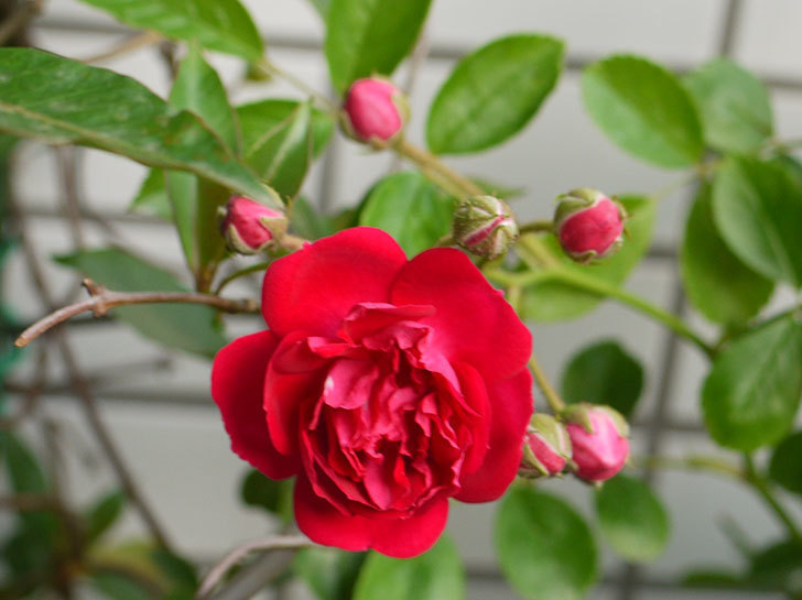 キングローズ(ツルバラ)の花が咲き出した。2016年-5.jpg