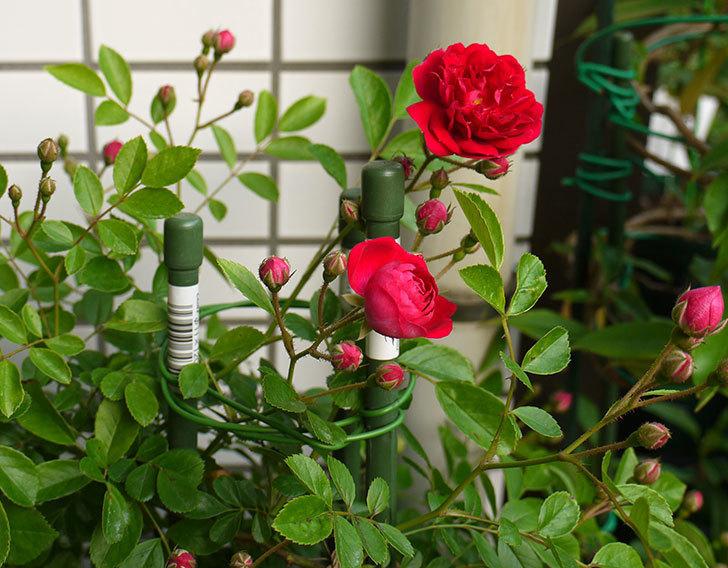 キングローズ(ツルバラ)の花が咲き出した。2016年-6.jpg