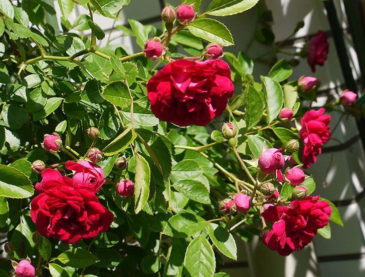 キングローズ(ツルバラ)の花が増えてきた。2016年-2.jpg