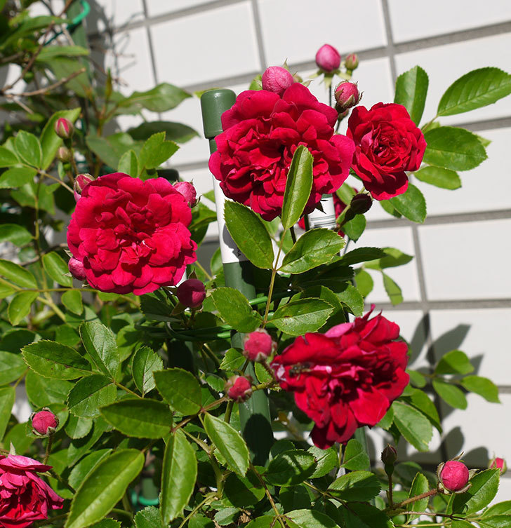 キングローズ(ツルバラ)の花が増えてきた。2016年-3.jpg