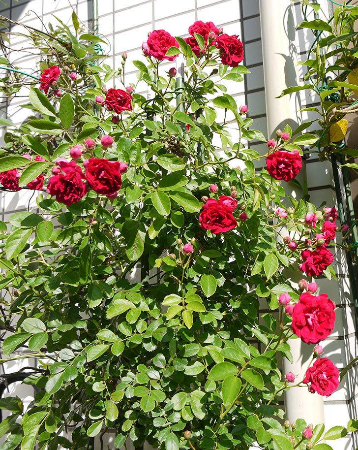 キングローズ(ツルバラ)の花が増えてきた。2016年-5.jpg