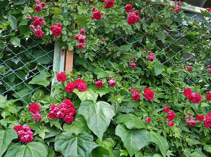 キングローズ(ツルバラ)の花が増えてきた。2017年-2.jpg