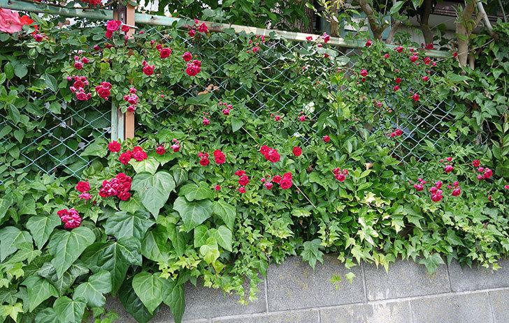 キングローズ(ツルバラ)の花が増えてきた。2017年-4.jpg