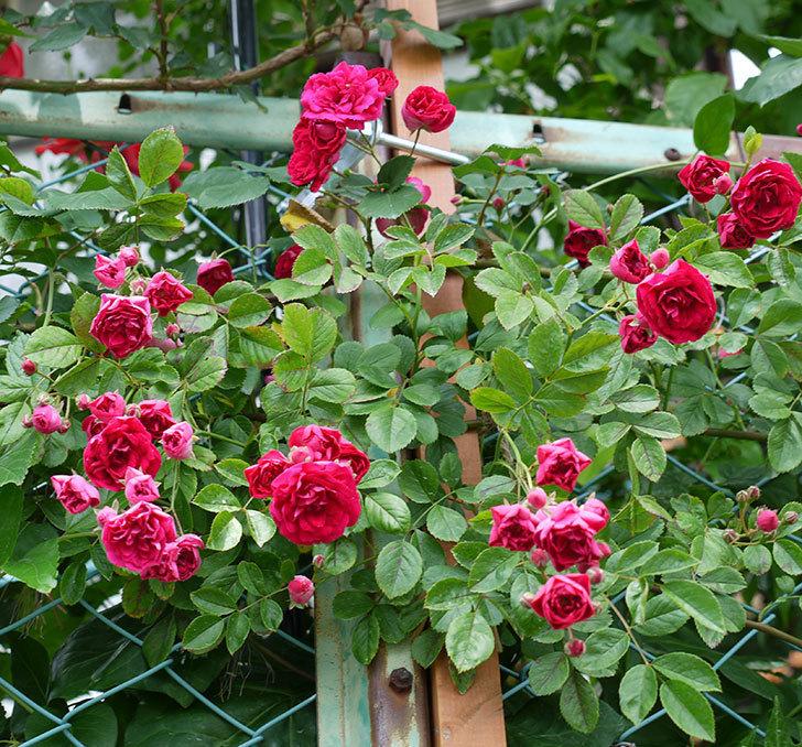 キングローズ(ツルバラ)の花が増えてきた。2017年-6.jpg