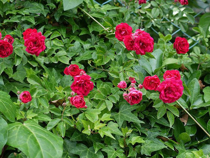 キングローズ(ツルバラ)の花が増えてきた。2017年-8.jpg