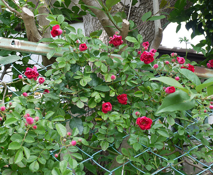 キングローズ(ツルバラ)の花が増えてきた。2017年-9.jpg