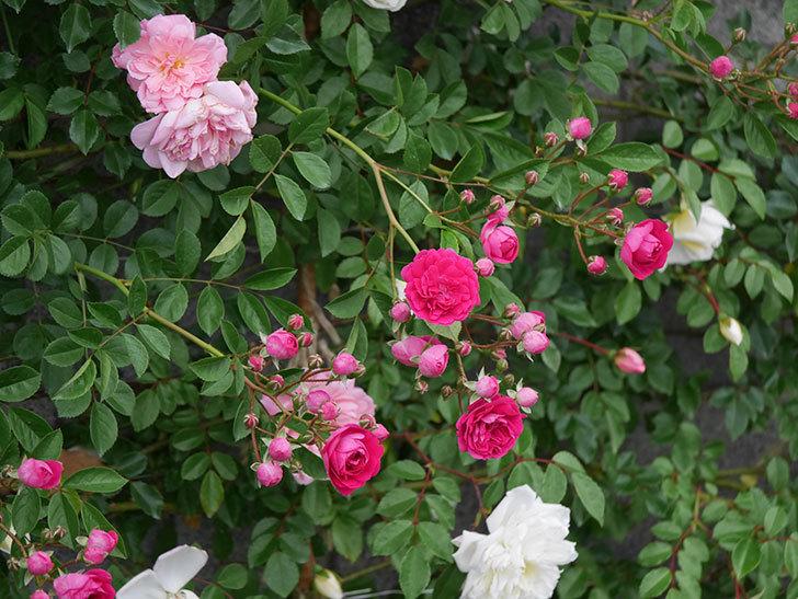 キングローズ(ツルバラ)の花が増えてきた。2020年-1.jpg
