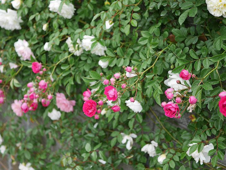 キングローズ(ツルバラ)の花が増えてきた。2020年-10.jpg
