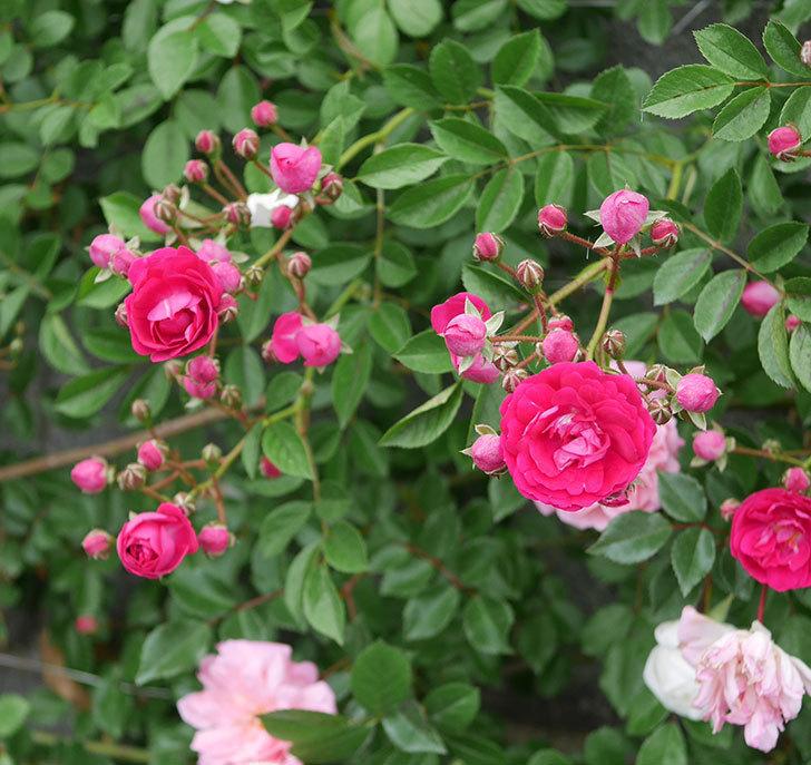 キングローズ(ツルバラ)の花が増えてきた。2020年-11.jpg