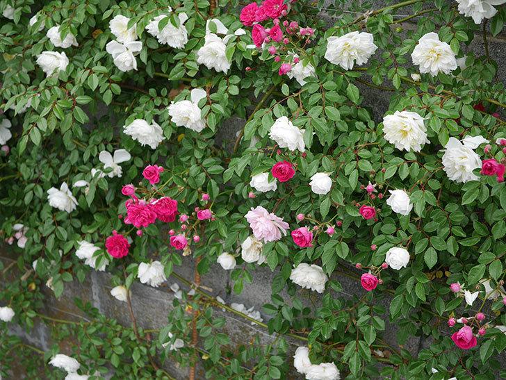 キングローズ(ツルバラ)の花が増えてきた。2020年-12.jpg