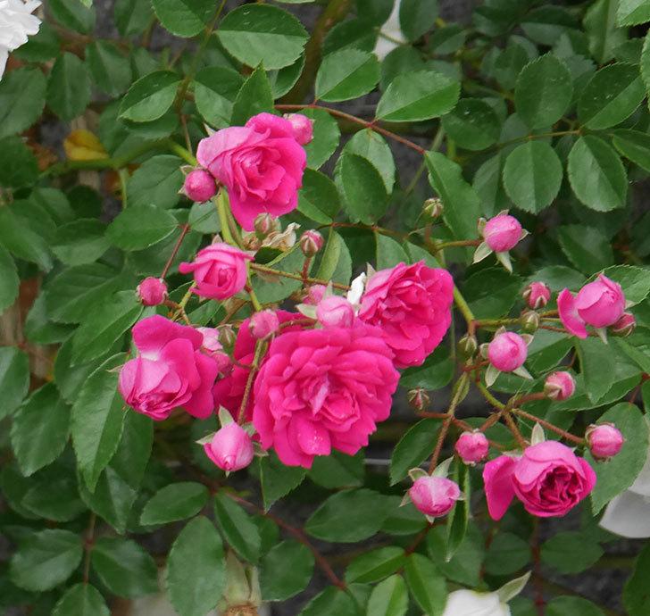 キングローズ(ツルバラ)の花が増えてきた。2020年-2.jpg