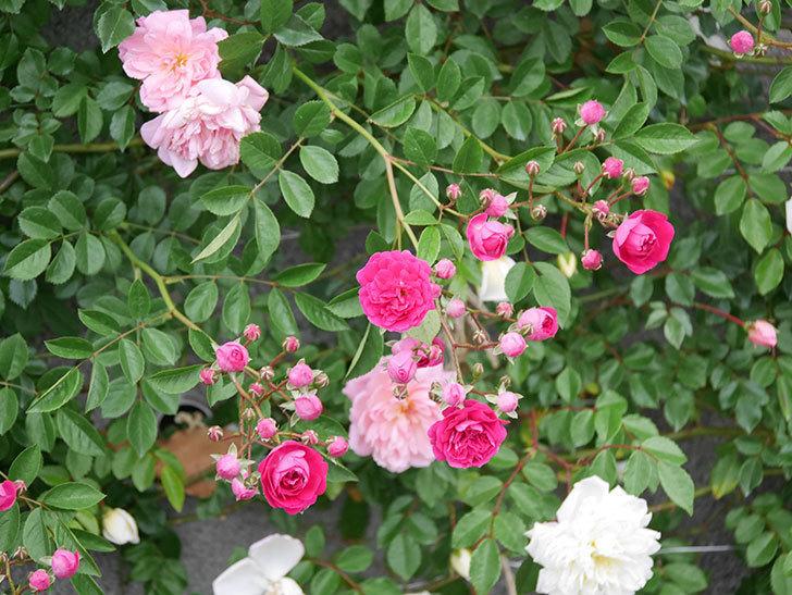 キングローズ(ツルバラ)の花が増えてきた。2020年-3.jpg