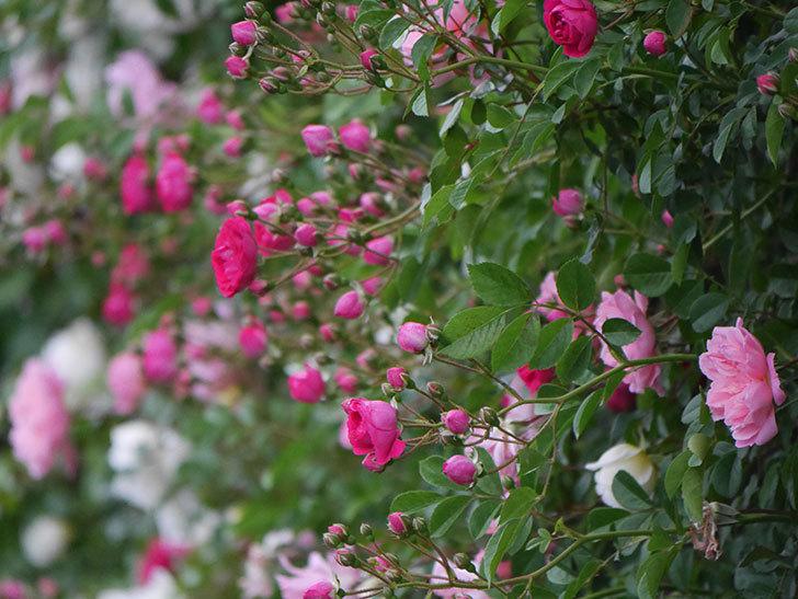 キングローズ(ツルバラ)の花が増えてきた。2020年-4.jpg