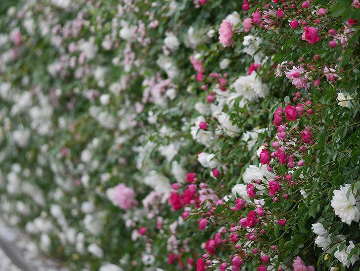 キングローズ(ツルバラ)の花が増えてきた。2020年-5.jpg