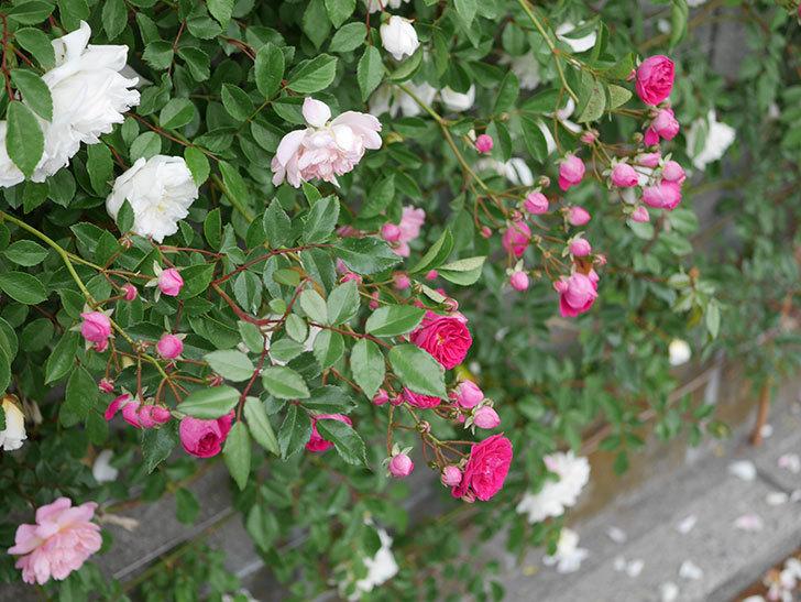キングローズ(ツルバラ)の花が増えてきた。2020年-7.jpg