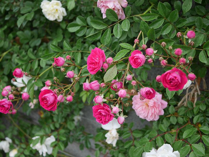 キングローズ(ツルバラ)の花が増えてきた。2020年-9.jpg