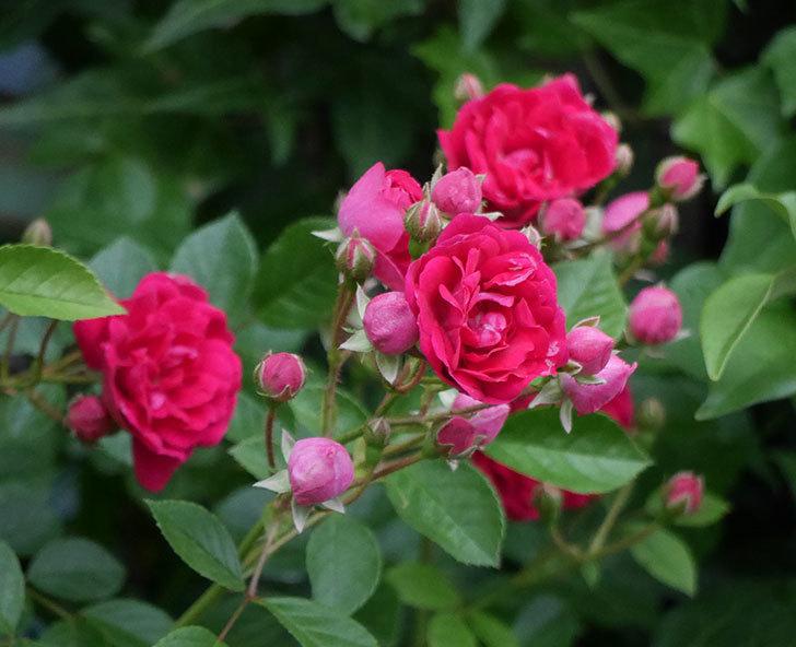 キングローズ(ツルバラ)の花が増えて来た。2018年-1.jpg
