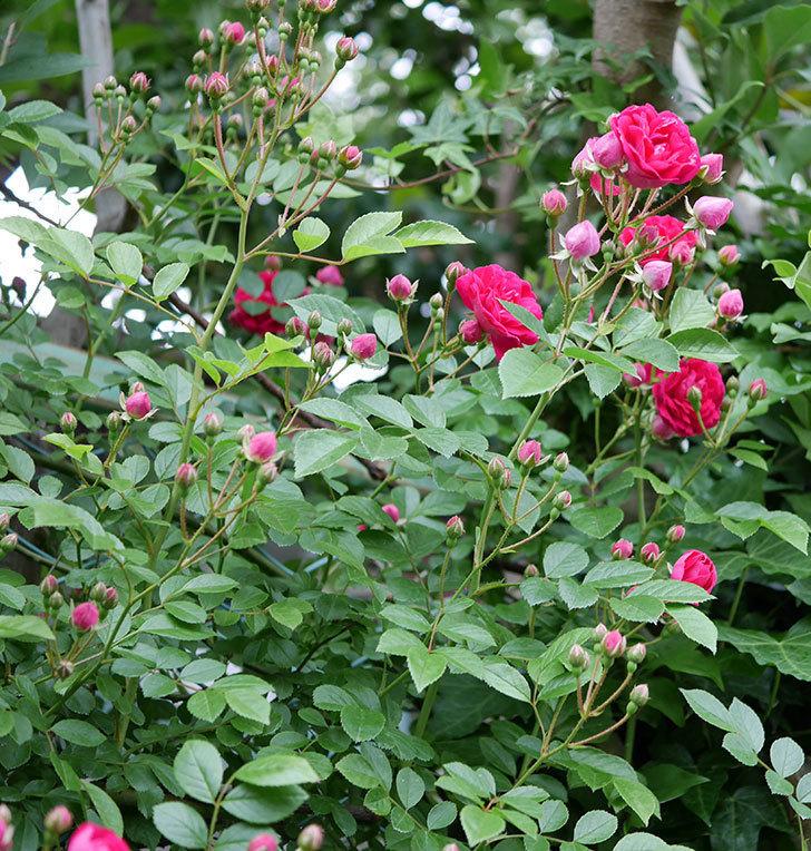 キングローズ(ツルバラ)の花が増えて来た。2018年-11.jpg