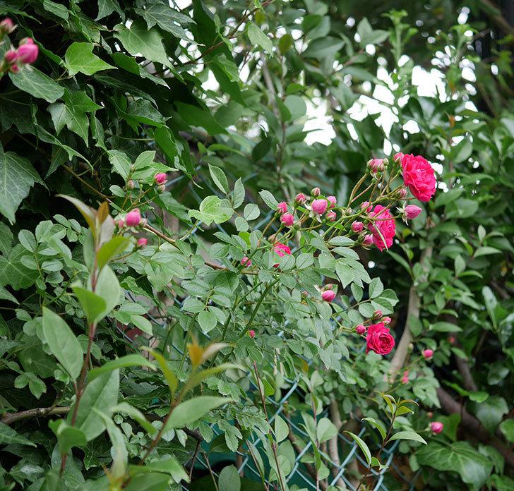 キングローズ(ツルバラ)の花が増えて来た。2018年-12.jpg