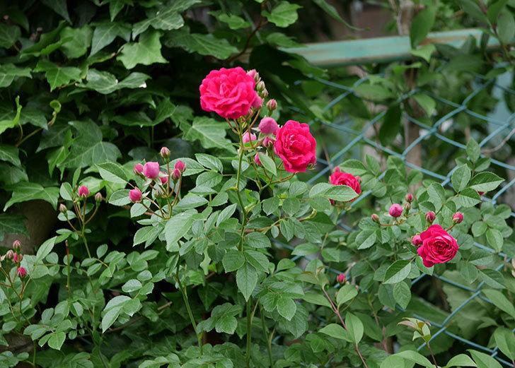 キングローズ(ツルバラ)の花が増えて来た。2018年-13.jpg