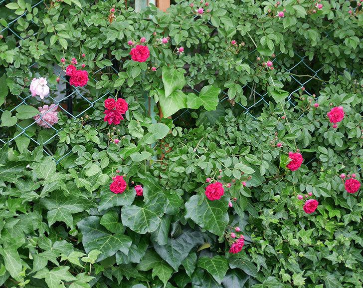 キングローズ(ツルバラ)の花が増えて来た。2018年-2.jpg