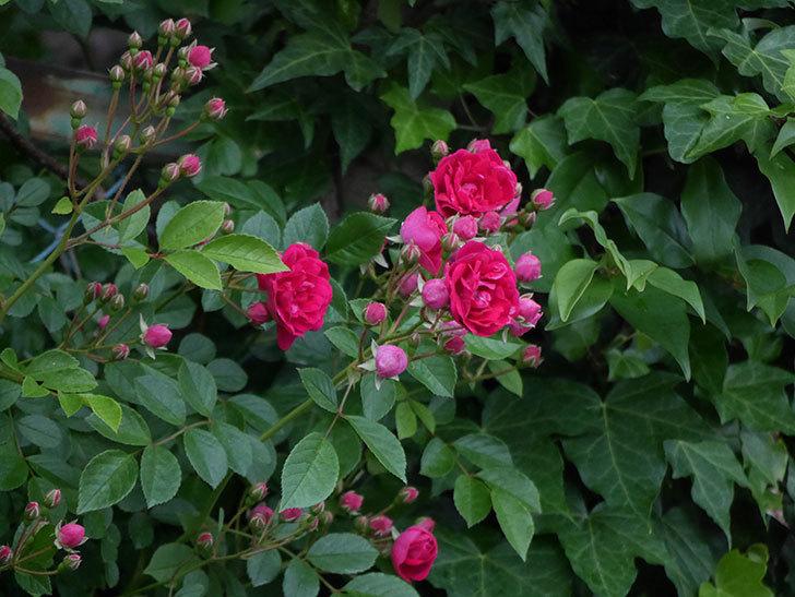 キングローズ(ツルバラ)の花が増えて来た。2018年-3.jpg