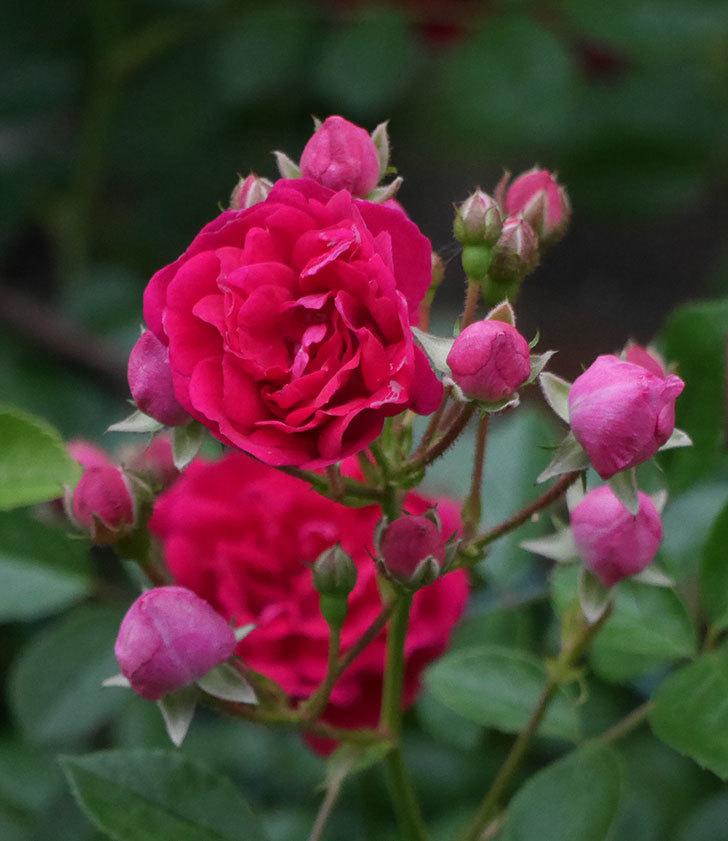 キングローズ(ツルバラ)の花が増えて来た。2018年-6.jpg