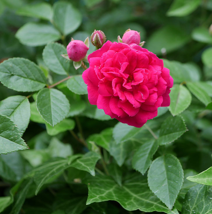 キングローズ(ツルバラ)の花が増えて来た。2018年-9.jpg
