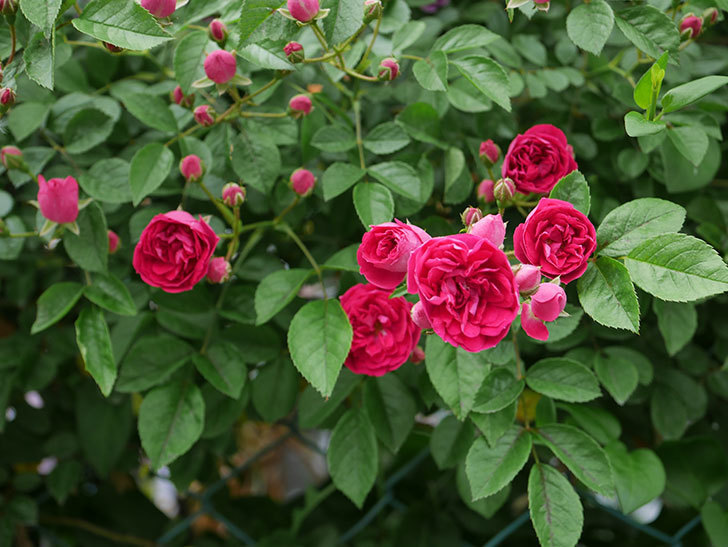キングローズ(ツルバラ)の花が増えて来た。2019年-1.jpg