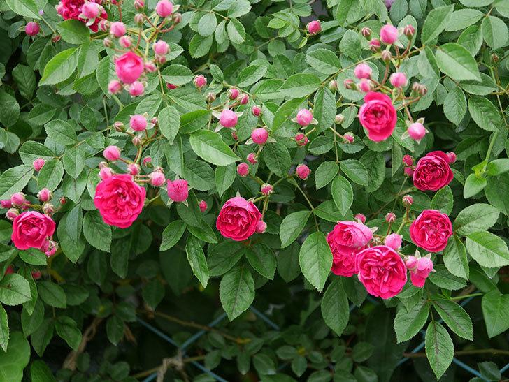キングローズ(ツルバラ)の花が増えて来た。2019年-11.jpg