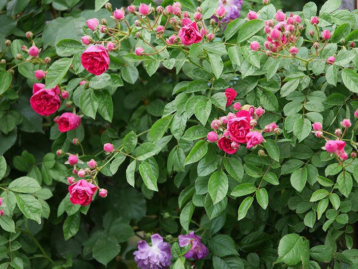 キングローズ(ツルバラ)の花が増えて来た。2019年-12.jpg