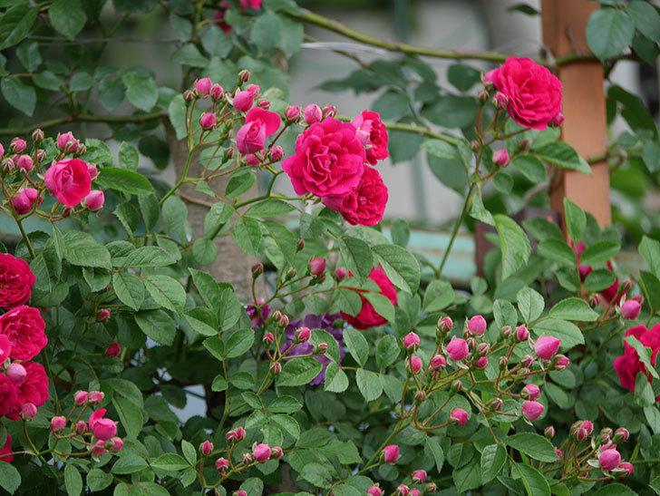 キングローズ(ツルバラ)の花が増えて来た。2019年-15.jpg