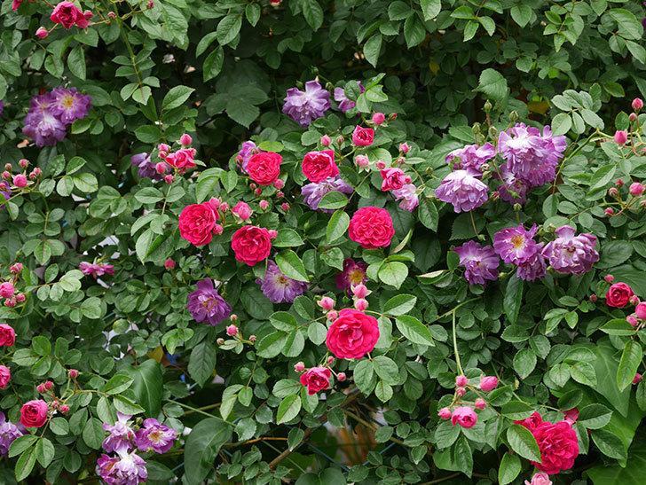 キングローズ(ツルバラ)の花が増えて来た。2019年-2.jpg