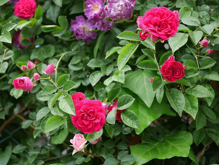 キングローズ(ツルバラ)の花が増えて来た。2019年-4.jpg