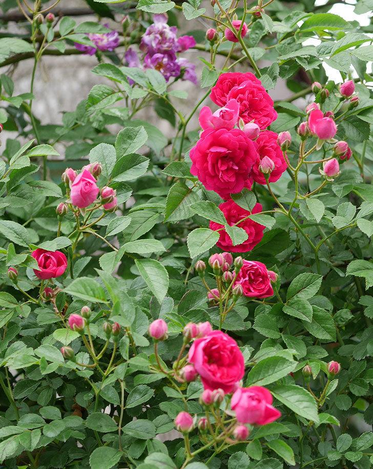 キングローズ(ツルバラ)の花が増えて来た。2019年-5.jpg